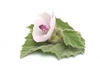 Marshmallow, Marsh Mallow, Common Marshmallow, Althaea officinalis