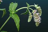 Horse Mint, Mentha longifolia