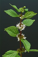 Peppermint, Mentha piperita