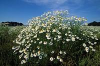 German chamomile, camomile, Matricaria recutita, Matricaria chamomilla