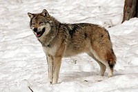 zoology / animals, mammal / mammalian, wolfs, Grey Wolf, Canis lupus, standing in snow, distribution: Soviet Union, North America, Europe, animal, Can...