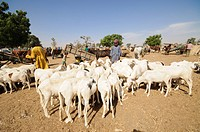 Animal market at Ngueniene, near Mbour, Senegal, West Africa, Africa