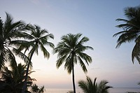 Palms, Maldives, Indian Ocean, Asia