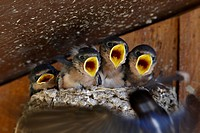 Four barn swallow Hirundo rustica chicks chirp as parent approaches nest with food, Custer State Park, South Dakota, United States of America, North A...