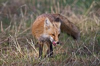 Red fox licking his lips, Wheatridge, Colorado