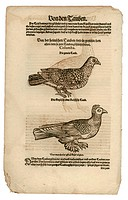 zoology / animals, textbooks, Historia animalium, by Conrad Gessner, Zurich, Switzerland, 1551 _ 1558, pigeons Columba, woodcut, historic, historical,...