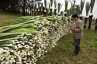 Man standing in front of a pile of Sisal leaves, Village of Casarpamba, province Imbabura, Ecuador.