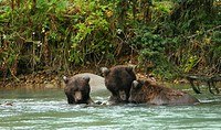Grizzly bears fishing in Chilkoot River, Haines, Alaska