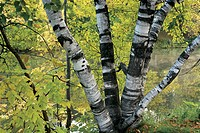 Birch tree trunks on Ile des Moulins, Old Terrebonne, Lanaudiere, Quebec