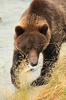 Grizzly bear fishing and walking on shore line, Haines, Alaska