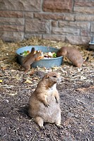 Chubby Prairie Dog, The Assiniboine Park Zoo, Winnipeg, Manitoba