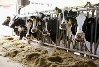 Dairy cows in farm, Azpeitia, Gipuzkoa, Basque Country, Spain