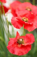 Red Corn Poppy Flowers, Green Background