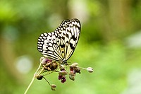 Marbled white butterfly on plant, close_up