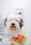 Old English sheepdog sitting by table of food, close_up