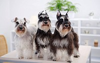 Miniature Schnauzers standing at edge of table