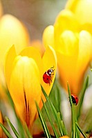 Ladybird beetles on crocus Coccinella septempunctata A pair of Seven spot Ladybird beetles explore... (thumbnail)