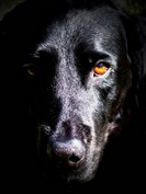close up of black dog face