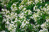 Trees with white flowers