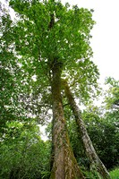 Large tree, low angle view