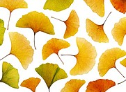 Gingko leaves, autumn