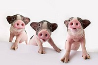 Three piglets standing