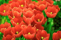 Close_up of red tulip