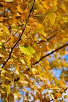 Close_up of yellow ginkgo leaves, vertical