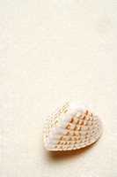 Single seashell on white background, close_up