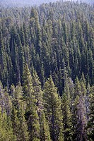 Lodgepole Pines, Yellowstone National Park, Wyoming, USA