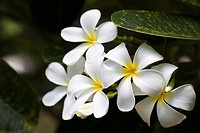 Asia, China, Hainan Island, Yalong Bay, White flowers