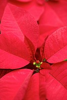 Poinsettia, close up
