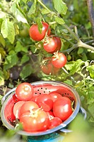 Fresh tomatoes in backyard garden, Winnipeg, Canada