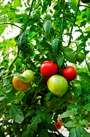 Tomatoes growing on vine