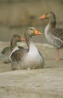 Graugänse, Frankreich _ Greyleg Goose, France