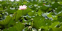 A pink water lily in the green lily pads
