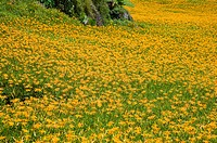 Day lilies on the Liushidan Mountain, Fuli Township, Hualien County, Taiwan