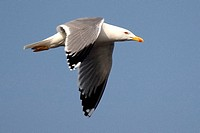 Gaviota patiamarilla, Larus cachinnans, Yellow legged Gull