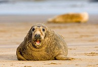Tiere, Saeugetiere, Robbe, Kegelrobbe, am Strand liegend, Insel Helgoland, Tiere, Mammals, Grey Seal, Halichoerus grypos, Isle Helgoland, Germany,