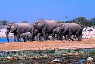 Elephant herd, Etosha National Park, Namibia