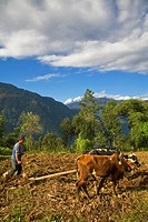 India, Sikkim, Khecheopalri Lake area, Man ploughing fields with Oxen