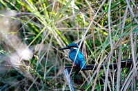 SMALL BLUE KINGFISHER IN KANHA