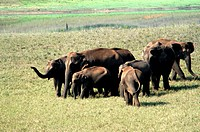 WILD ELEPHANTS GRAZING, PERIYAR TIGER RESERVE, THEKKADY