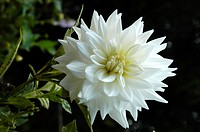 DHALIA FLOWER