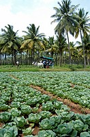 VEGETABLE FARMS ON TAMIL NADU PLAINS NEAR KUMILY THEKKADY