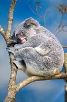 A Sleeping Koala, Taiwan, Taipei, Taipei Zoo