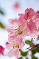 Shanghai, Peach blossom, Flower