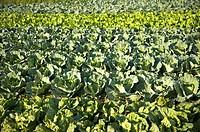 Taiwan, Taoyuan, Cabbage