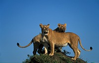 Lion standing on a termite mound, panthera leo, Maasai Mara National Reserve, Kenya