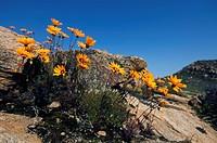 Namaqua parachute_daisy, Ursinia calenduliflora, Spring flowers on Kamiesberg, near Kamieskroon, Namaqualand, South Africa